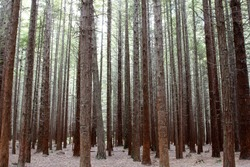 Tree trunks in Redwood forest