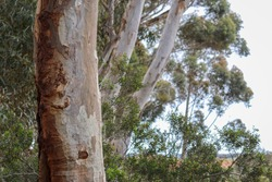 tree trunks of eucalypts in bushland