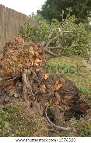 Baum Uprooted von Storm, St. Louis, Missouri