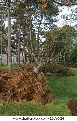 Tree Uprooted by Storm, St. Louis, Missouri