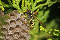 Tree wasp or paper wasp on its nest and building it very close up in Italy Latin polistes dominula or gallicus or dolichovespula sylvestris its eye clearly visible and the umbrella nest very clear