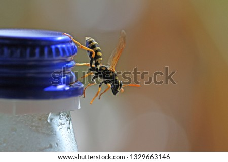 Tree wasp, or paper wasp very close up Latin name dolichovespula sylvestris or polistes gallicus crawling down a drinks bottle top in March in Italy