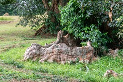Tree where roots grow along the surface of the ground, commonly known as the crocodile tree