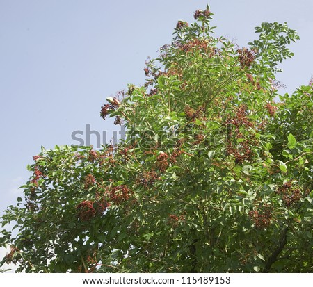 tree with elderberries, some picked by the birds