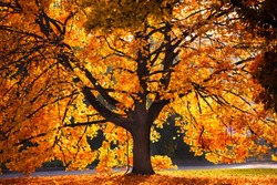 tree with golden leaves in autumn and sunrays