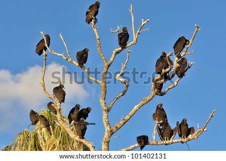 Tree with many black vultures sitting on the branches