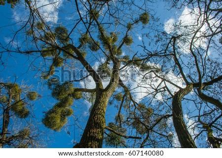 Tree with mistletoe,  Zdjęcia stock ©