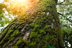 Tree with moss on roots in a green forest or moss on tree trunk. Tree bark with green moss.