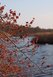 Tree with orange blossoms in late winter with marshland and river in soft focus in background; national wildlife refuge on Long Island, NY; selective focus; selective focus, vertical