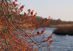 Tree with orange blossoms in late winter with marshland and river in soft focus in background; national wildlife refuge on Long Island, NY; horizontal