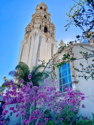Tree with Purple Blossoms in Spring. The blossoms look striking against the Museum of Man built in 1915 for the Exposition in Balboa Park in San Diego.
