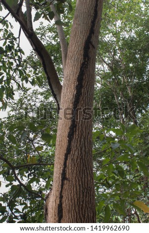 Tree with termites or pests, isopteran, termite nest