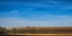 tree without leaves densely arranged Dark blue sky, rich colors, beautiful in the countryside