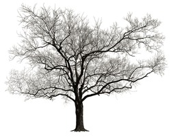 Tree without leaves isolated in white background