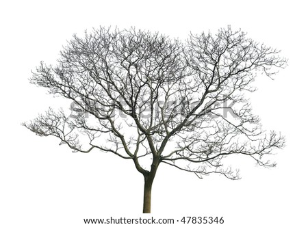 tree without leaves isolated in ...
