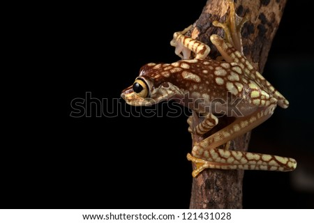 treefrog tree frog on branch in tropical Amazon rainforest of Colombia or Ecuador rain forest animal with big eyes lives at night Hypsiboas picturata
