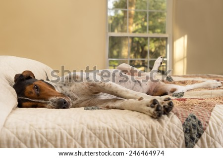 Treeing Walker Coonhound dog lying down inside on human bed with quilt looking tired lazy sleepy worn out exhausted comfortable relaxed stress-free pampered cozy melancholy lethargic sick unwell