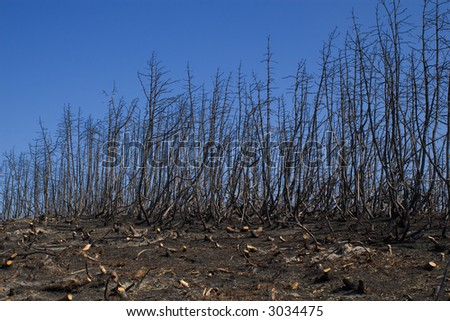 trees after the forest fire
