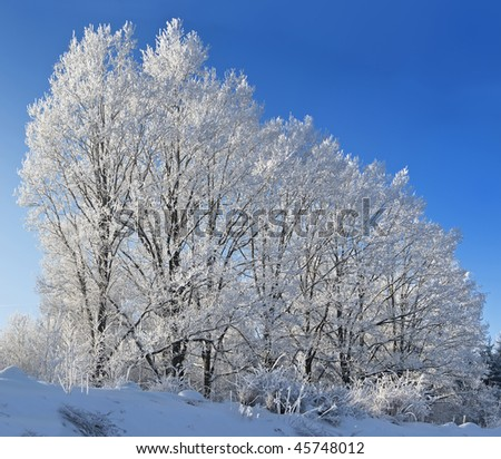 Trees against the blue sky. On branches plentiful hoarfrost. The shining sun shines sideways.