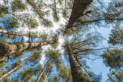 Trees against the blue sky, view from below. Tall pine trees in a green forest. Background texture: tops of conifers, three eye-catching trees