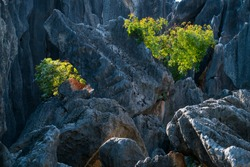 Trees among tall rocks formations of limestone in The Stone Forest located in Shilin Yi Autonomous County of Yunnan Province in China, Asia, UNESCO World Heritage Site