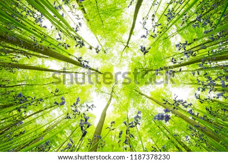 Trees and blooming flowers in forest with perspective from bottom to top. European beech tree crowns and blue bell blooms everywhere around. Creative landscape photography with diagonal composition. #1187378230