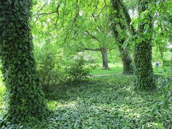 Trees and ivy