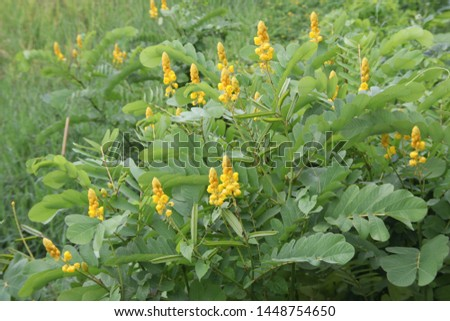 Trees and yellow flowers of Acapulo are in nature environment in Thailand, another name is Candelabra bush, Candle bush, Ringworm bush.  #1448754650
