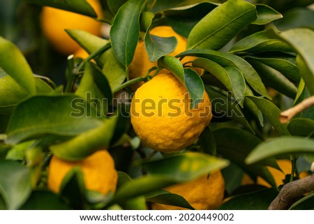 Trees bear a citrona small citrus fruit-Citrus junos- in Fukuoka city, JAPAN. We called Yuzu for fruit.