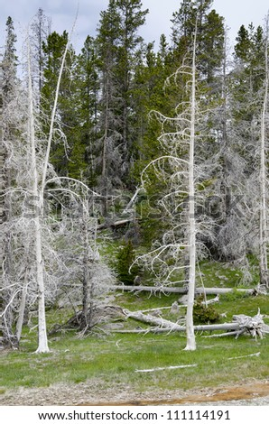 trees burned by Geyser in Yellowstone National Park in Wyoming in the United States of America