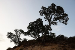 Trees cling to a cliff top at Island Bary Auckland, New Zealand, with a crescent moon in the distance.