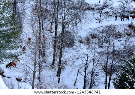 Trees covered in snow after a recent snowfall in winters in Kufri, Shimla, Himachal Pradesh. Also seen in this pic are some horses mules with red saddle walking on the ice.