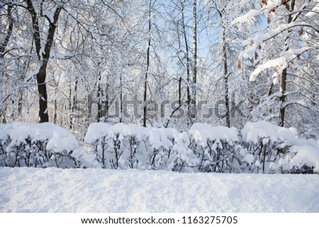 Trees covered with snow, winter forest landscape after a heavy snowfall. Beautiful cold weather scene, sunny day in february.
