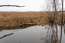 trees felled by beavers on rivers and streams, reclamation ditch blocked by beaver dams, beavers harm the environment, close-up, selective focus, tinted image.
