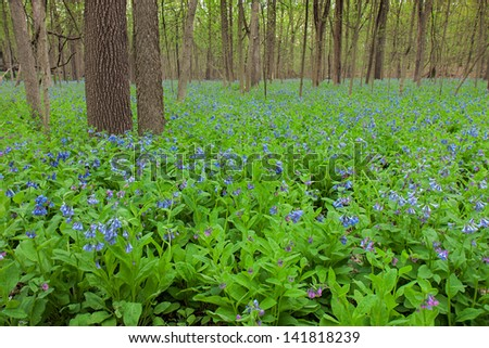 Trees fill the foreground as a carpet of bluebells covers the forest floor. The pastel colors of the spring ephemeral plant are a striking contrast to the brown tones of the forest tree. - stock photo