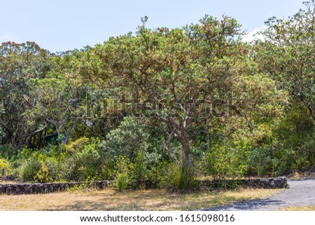 Trees, fit for growing on the volcanic soil of the Rangitoto Island Scenic at Auckland, New Zealand Reserve