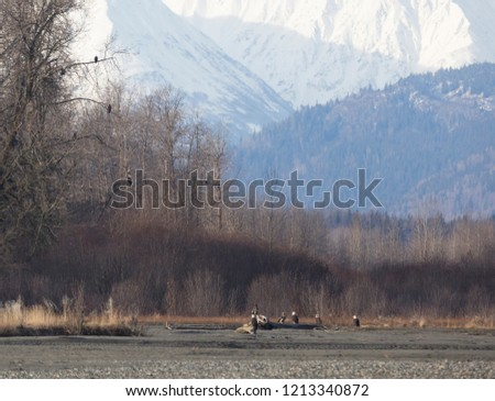 Trees full of Bald Eagles sitting in the trees at rivers edge against snow covered mountain backdrop in Haines, Alaska.