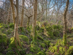 trees growing from rocky forest floor.