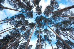 Trees in a forest. Looking Up.