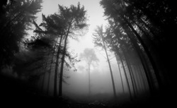 trees in black and white fog