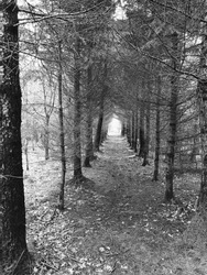 Trees in forest - black and white