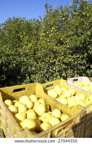 Trees in orchard and lemons in boxes, Turkey