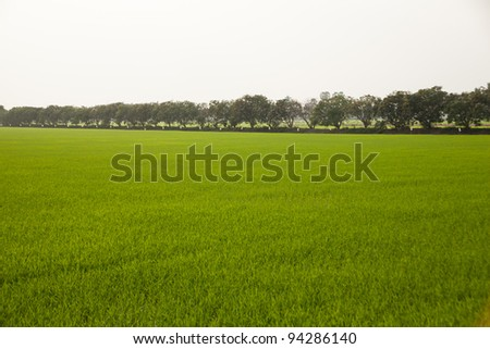 Trees in rice fields. Plant trees in paddy fields. The sky is not bright.