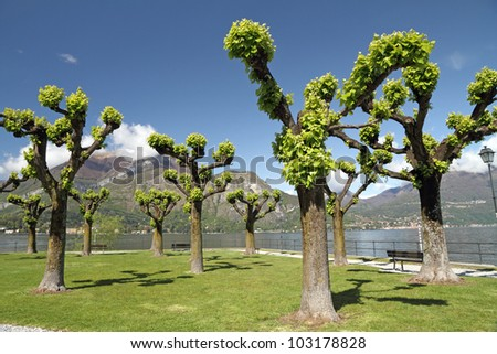 Trees in te park on Punta Spartivento in Bellagio with  superb view of the lake Como,  Lombardy,  Italy,  Europe