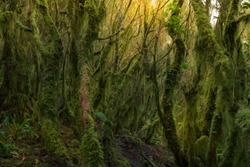 Trees in the Anaga Park, Tenerife Canary Islands Spain, covered of musk and plant formations. Wild nature in the forest undergrowth vegetation. Sun light in background. Unspoiled nature concept.