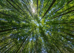 Trees in the forest, bottom view, birch and poplar with thin trunks and green foliage, tree tops against the sky. Forest landscape.