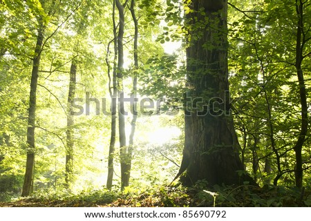 Trees in the forest on a bright and misty autumn morning