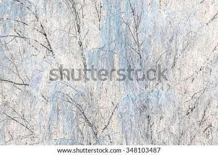 Trees in winter. Birch branches covered by white frost. White Christmas background, copy space.