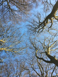 Trees in winterseason with sparks of sunlight and a crispy blue sky.