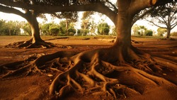 Trees landscape with abundant roots on the surface. Concept of settling down, finding home, successful immigration. Orange sunset light. Bush and shrubs in the background. Leaves crowns. Thick trunks